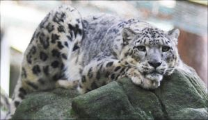 Snow Leopard VIII by Parides