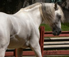 Andalusian Stallion - 45 by ElaineSeleneStock