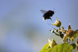 Bumblebee pollinating a raspberry blossom! by JetteReitsma