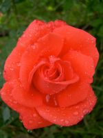 Pink Rose in Rain by peacetree7