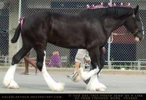Clydesdale 7 by SalsolaStock