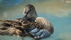 Blue winged Teal Hen by atrafeathers