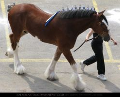 Clydesdale 14 by SalsolaStock
