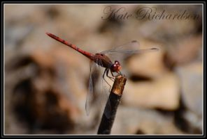 Dragonfly 3 by DesignKReations