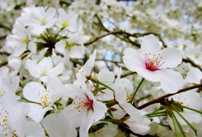 Cherry Blossoms 5 by zaphotonista