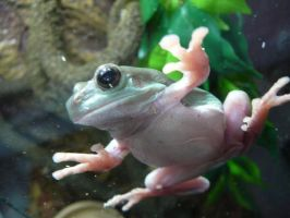 Gizmo the Tree Frog 15 by devonette
