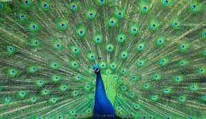 Peacock by JeanFan