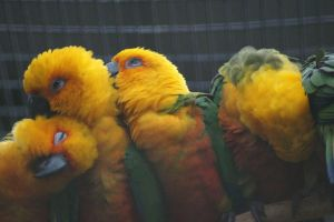 Fluffy feathered friends by Roses-and-Feathers