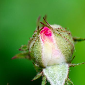 Rose Ball by roarbinson