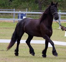 STOCK - Friesian Show 2012-148 by fillyrox