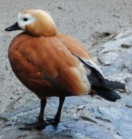 Ruddy Shelduck 1 by fuguestock