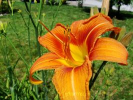 Day Lily by AntoinetteLeChat