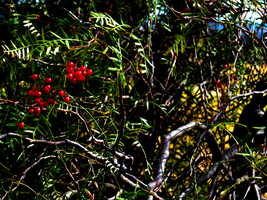 the red berries by MissBexyDust