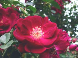 Texas Roses by Bickhamsarah