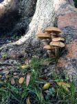 Fungus on Olive Tree-3 by dkbarto