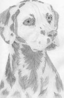 Dalmatian by icepenguin26