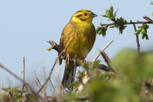 Yellowhammer by Cantabrigian