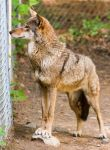 Red Wolf Stock 64 by HOTNStock