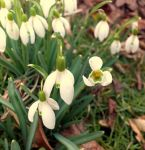 Snowdrops (Day 65) by Hedwigs-art