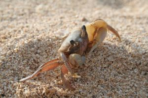 Beach Crab by ch4d1str0