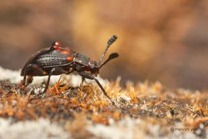 Beetle taking a walk by melvynyeo