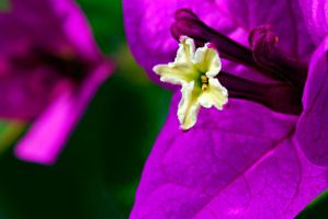 Bougainville by Austinii