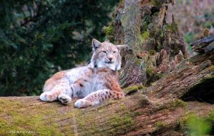 Lynx  /  Luchs 4 by bluesgrass