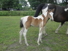 Anja - Bay Tobiano Filly by Horselover60-Stock