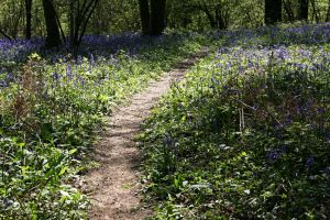 Bluebell Woods 7 GothicBohemianStock by OghamMoon