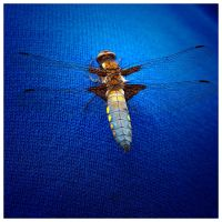 Dragonfly blue by titus-fr