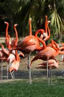 Flamingo Stock 1 by GloomWriter