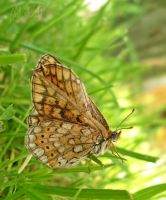 summer butterfly by ad-shor