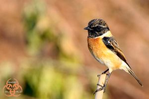 Male Stonechat by ahmedalali