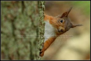 Peekaboo - Red Squirrel by nitsch