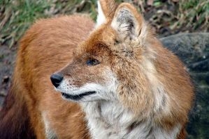 The Asiatic Dhole by roamingtigress