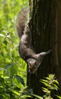 Grey Squirrel by mk-thommo