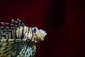 dragonfish by NicolasM