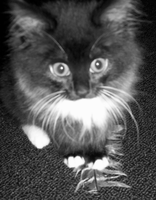 Kittens and feathers. by dramatics