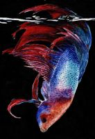 Fighting Fish by Lady-with-a-buzzsaw