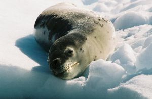 Leopard Seal by Serendith
