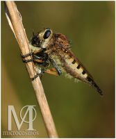 Robber Fly by microcosmos