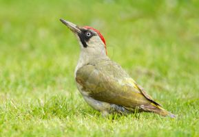 The grass is always greener - Green Woodpecker by Jamie-MacArthur