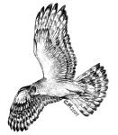 Northern Harrier Hunting by Ciameth