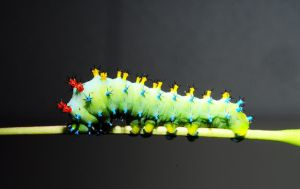 Cecropia Caterpillar Generation 2 by Meddling-With-Nature