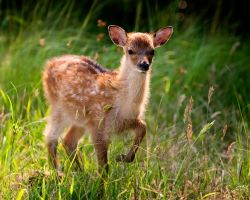 Sika Fawn by andrewwilliams