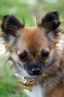 long haired Chihuahua by Chine