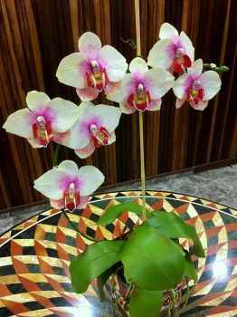Moth Orchid by comedycourt