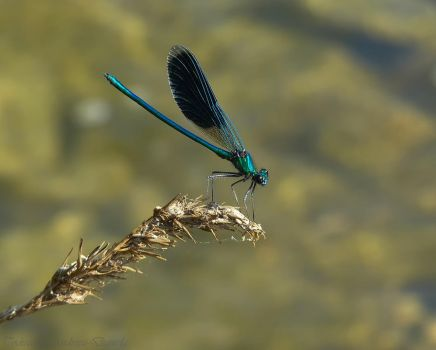 Blue Dragonfly by Deauca