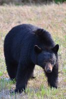 Blue Black Bear by drewhoshkiw