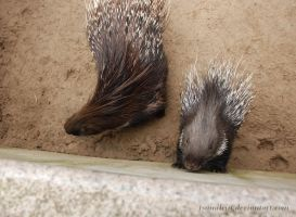 Little porcupine being nosey by hoshitsu